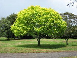 Bright_green_tree_-_Waikato